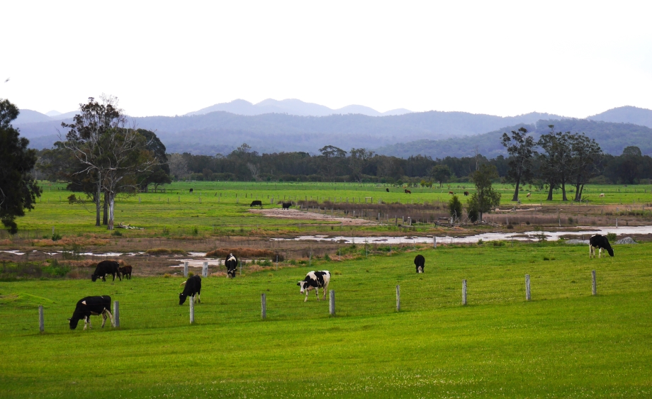 Dairy cows in Cooma